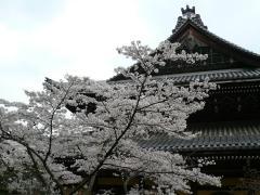31 марта О-ханами — фестиваль цветения и любования сакурой в Японии