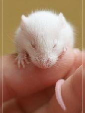 Уход за белыми мышами