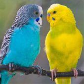 Волнистый попугай. Самая красивая птичка у вас в доме.