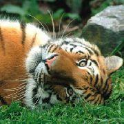 В Уссурийском заповеднике открыт центр реабилитации тигров и леопардов