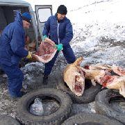 Под Уссурийском идёт уничтожение около 50 тонн мяса