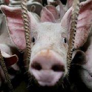 «Свиной грипп» добрался и до Уссурийска