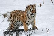 Ветврачи из Уссурийска спасли тигренка, пострадавшего от браконьеров