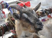 Меркель родила козленка в Приморском Сафари-парке (ВИДЕО)