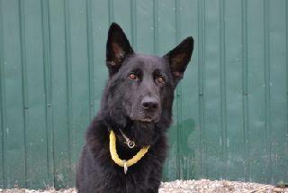 В Уссурийске полицейская собака по кличке Опал помогла раскрыть грабеж