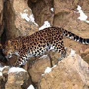 В Уссурийском заповеднике открыт центр реабилитации дальневосточного леопарда