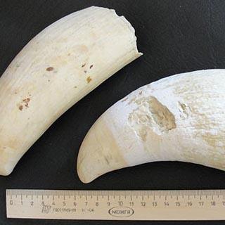 Зубы кашалота обнаружили уссурийские таможенники