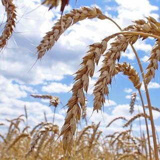Уборка ранних зерновых заканчивается в УГО