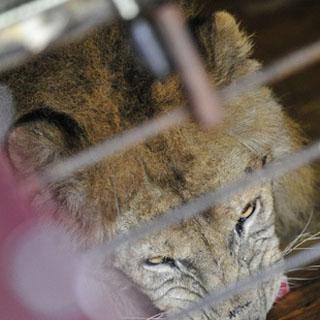 Лев, спасённый из уссурийского зоопарка, переехал в просторный вольер