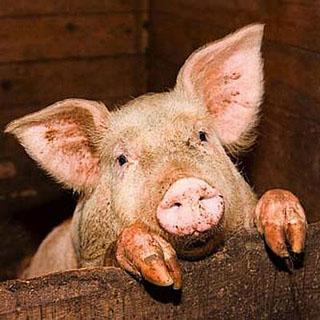 Житель Уссурийска рассчитался с долгами свиньями