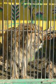 В Уссурийске из зоопарка сбежал лев!
